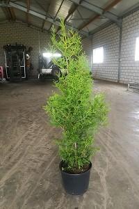 Lebensbaum Brabant 100-125 cm  test